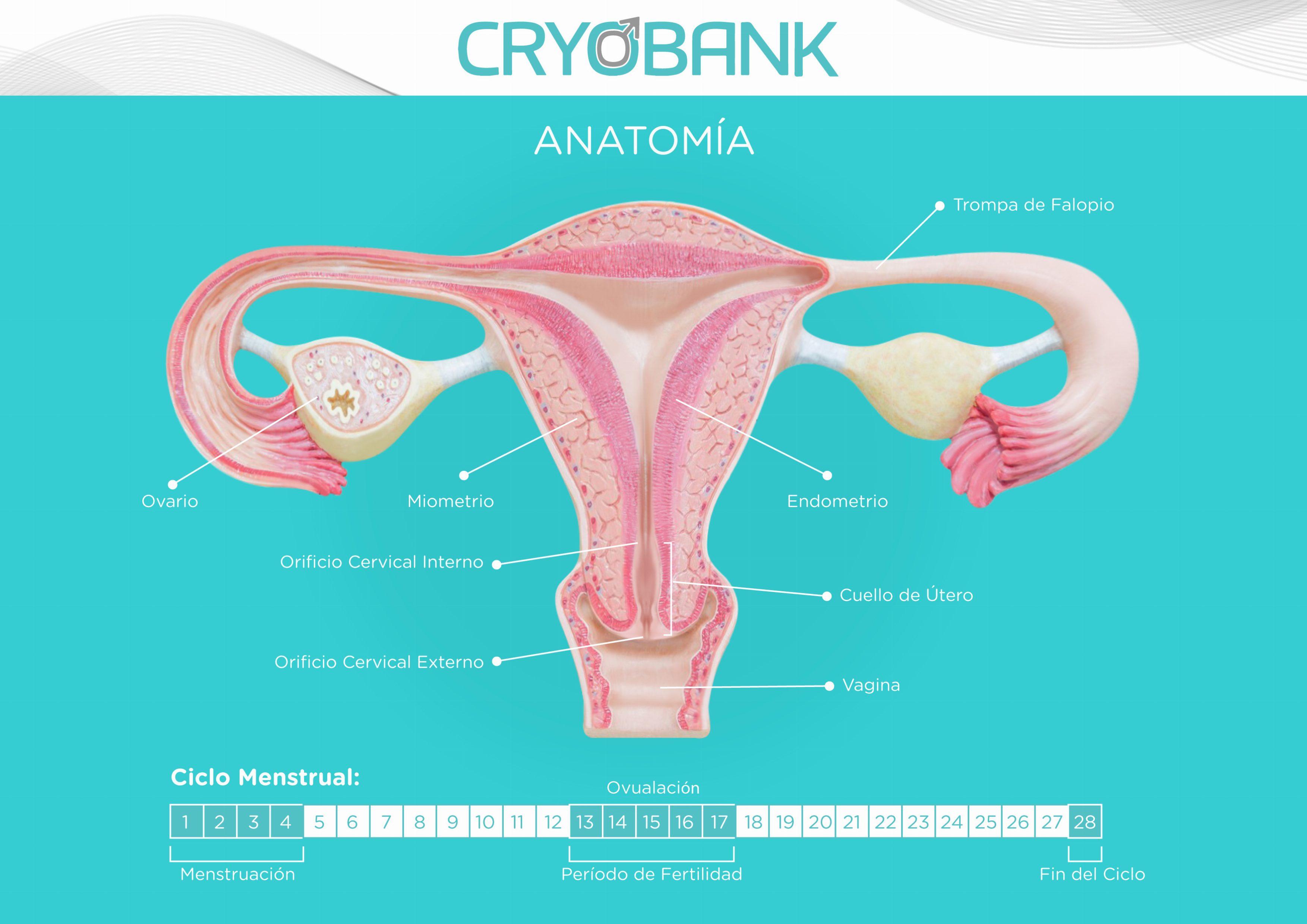 Anatomía Femenina y su Ciclo Menstrual - CRYOBANK